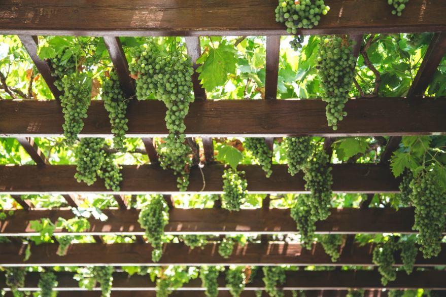Фото домашнего растения виноград для осенний рецептов