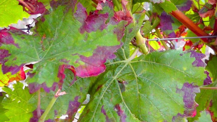 Фото домашнего растения виноград для осенний рецептов вина
