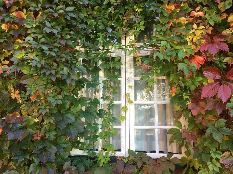 Фото  домашнего винограда – растения, для вкусных рецептов