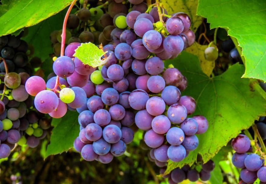 Скачать фото осеннего растения – винограда