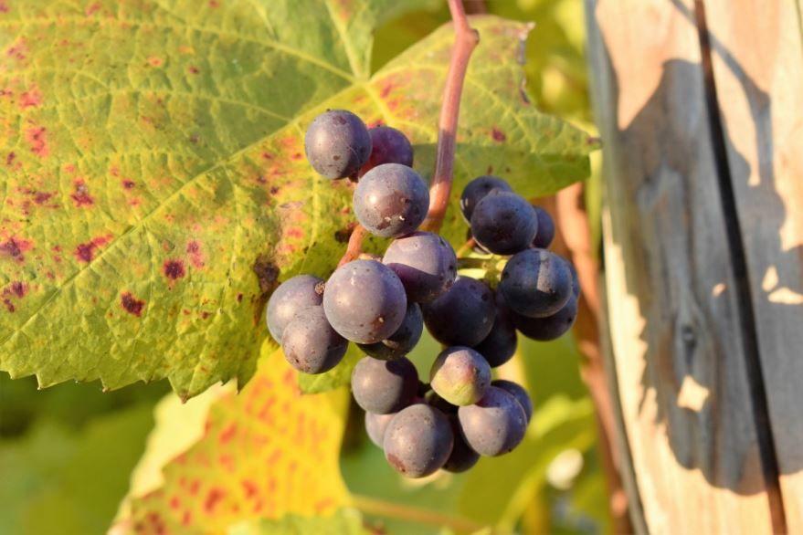 Фото винограда – растения, для домашних рецептов