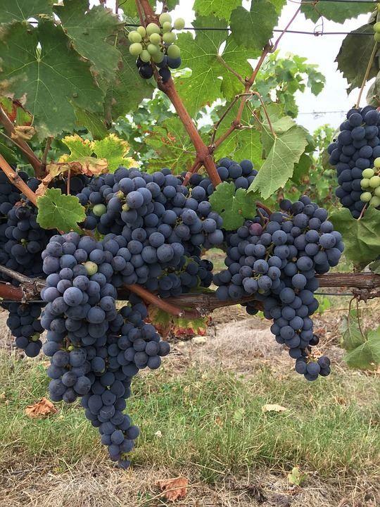 Фото сорта – черный виноград бесплатно