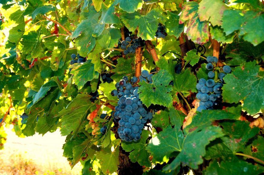 Смотреть фото черного винограда, в котором много пользы для здоровья