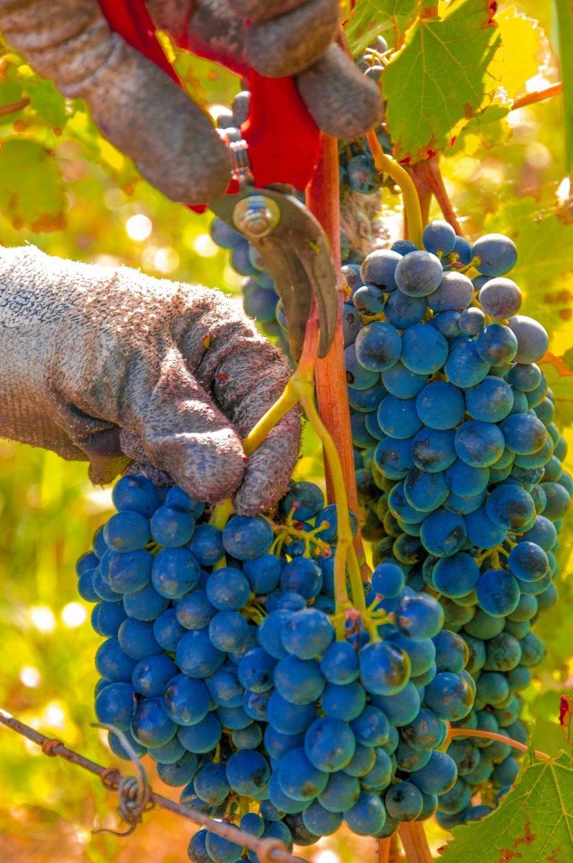 Скачать фото черного винограда в домашних условиях