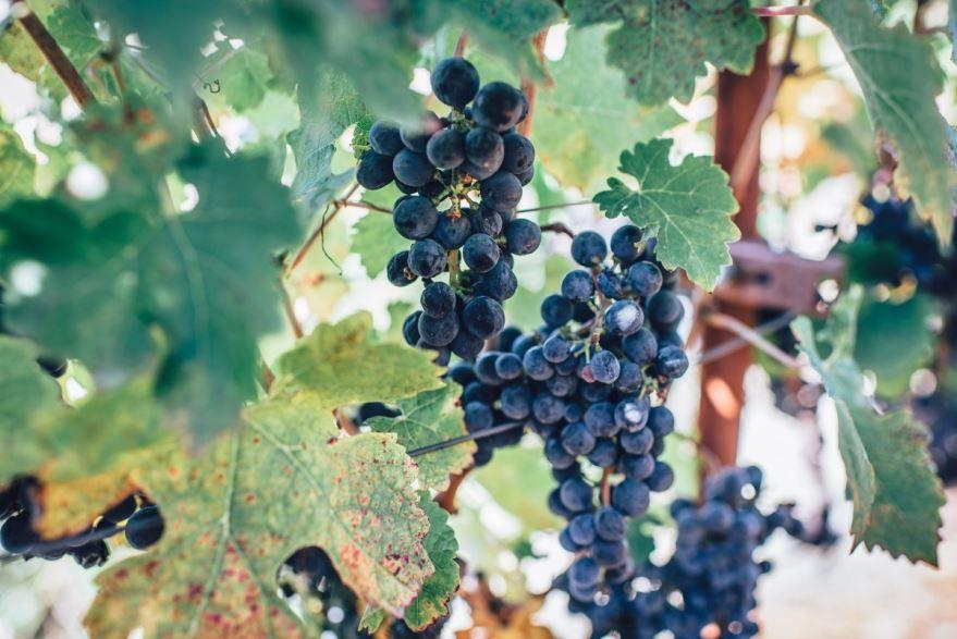 Фото черного винограда с косточками онлайн