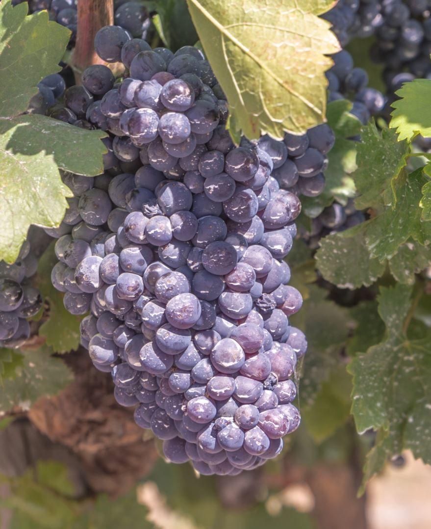Фото растения с полезными свойствами – черного винограда