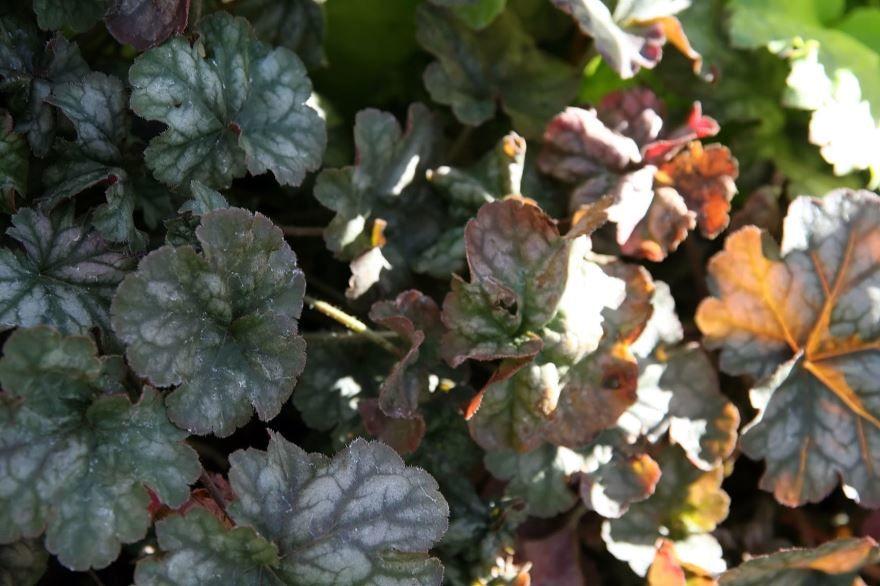 Фото красивых цветов гейхера, выращенных в открытом грунте