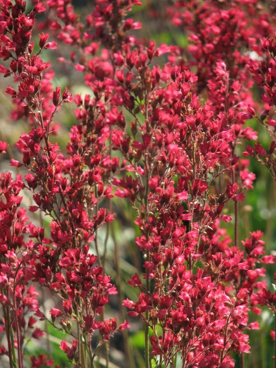 Фото растения гейхера онлайн
