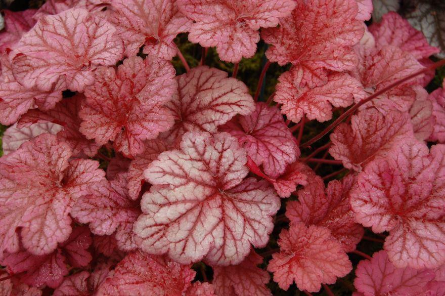 Купить фото растения гейхера? Скачайте бесплатно