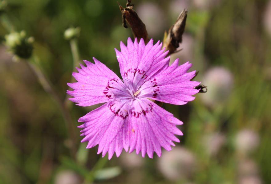Фото цветка гвоздики для красивого букета