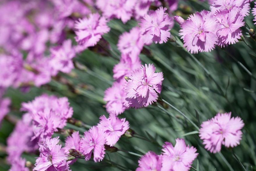 Фото розовых цветов гвоздики онлайн