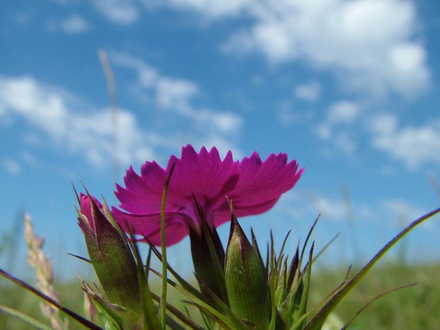 Картинки растения гвоздики, обладающей своими противопоказаниями