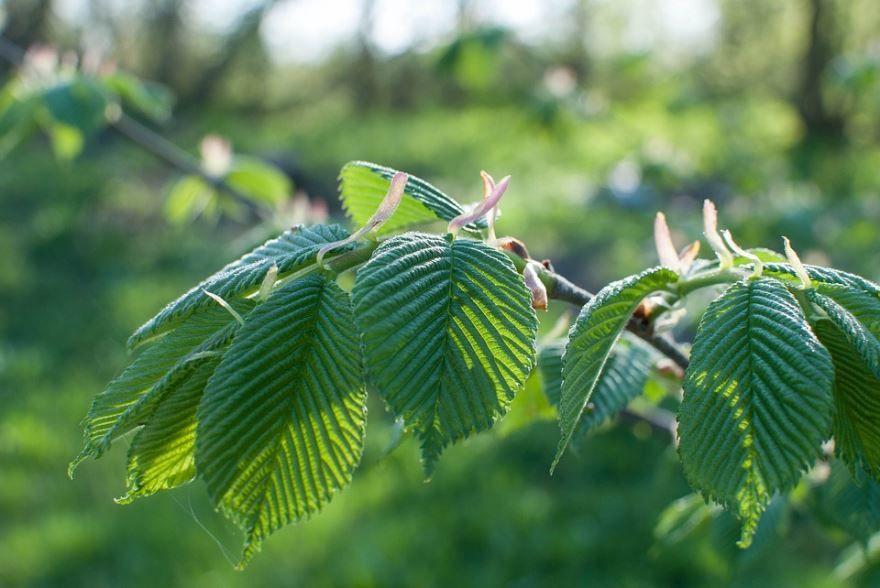 Фото растения вяз с листьями онлайн