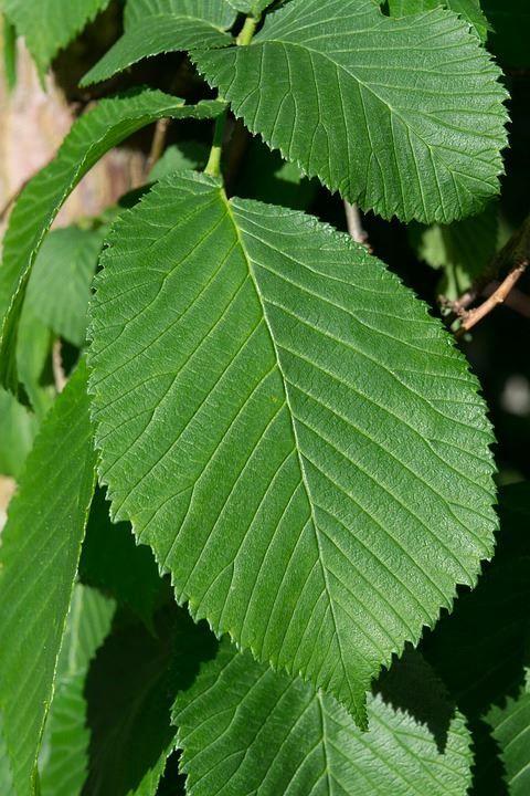 Смотреть лучшие фото растения вяз бесплатно