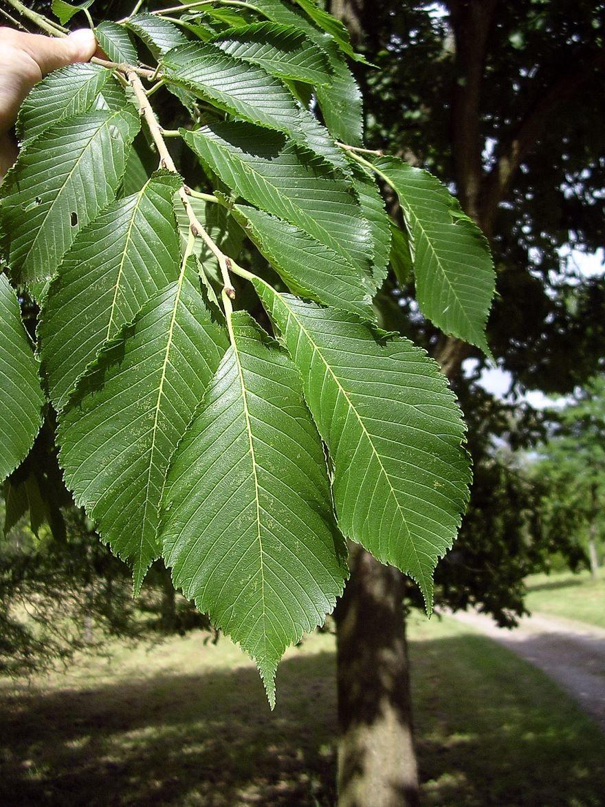 Скачать фото дерева вяз с листьями