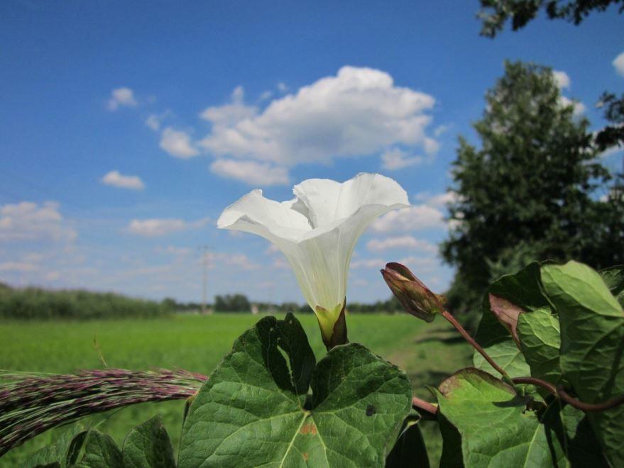 Фото сорняка вьюнка в хорошем качестве