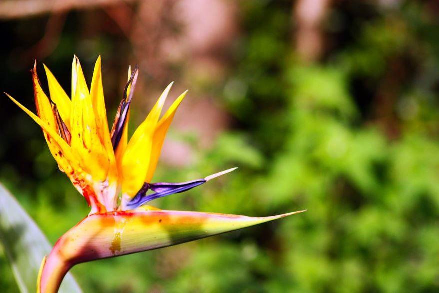 Фото растения гацания, выращенного в домашних условиях
