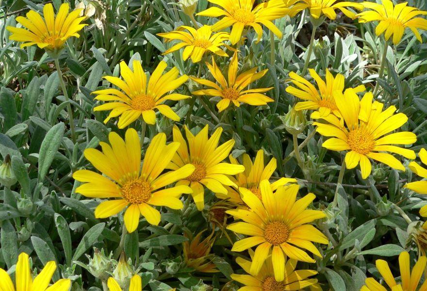 Смотреть фото однолетнего растения – гацания