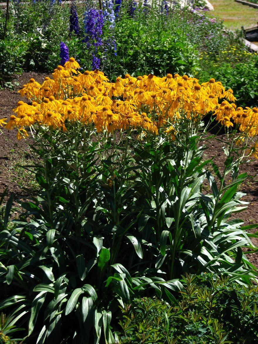 Фото цветков гелениум бесплатно