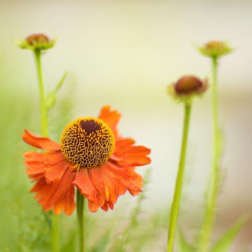 Смотреть фото осеннего растения – гелениум