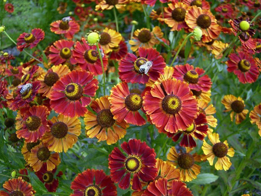 Фото растения гелениум, выращенного в домашних условиях