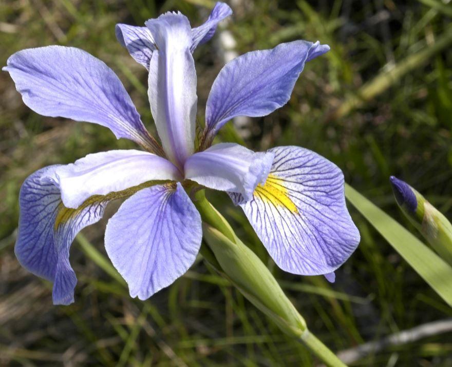 Смотреть фото цветов ириса в открытом грунте