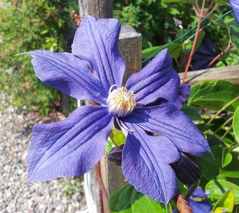 Фото красивых цветов клематиса