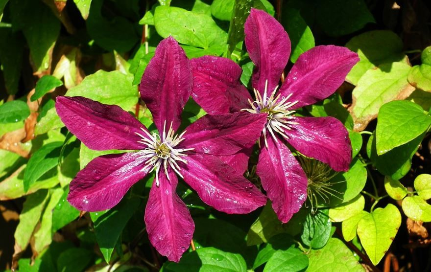 Фото цветов клематиса, выращенных в саду