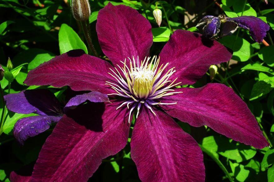 Фото цветов клематиса из Подмосковья