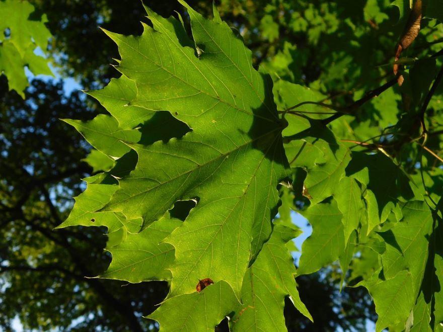 Смотреть фото листьев клена бесплатно