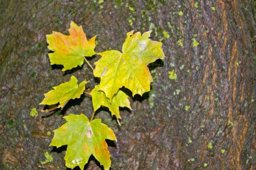 Скачать фото листьев красивого японского клена