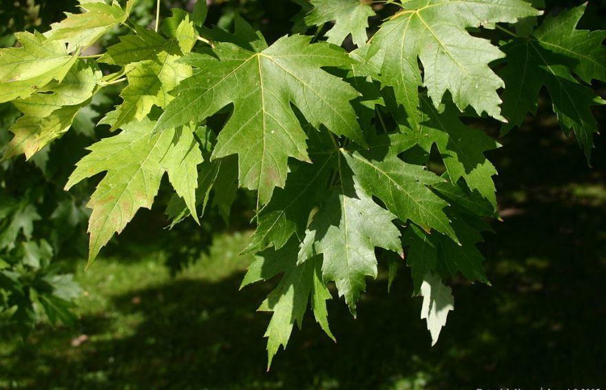 Осенние фото листьев клена