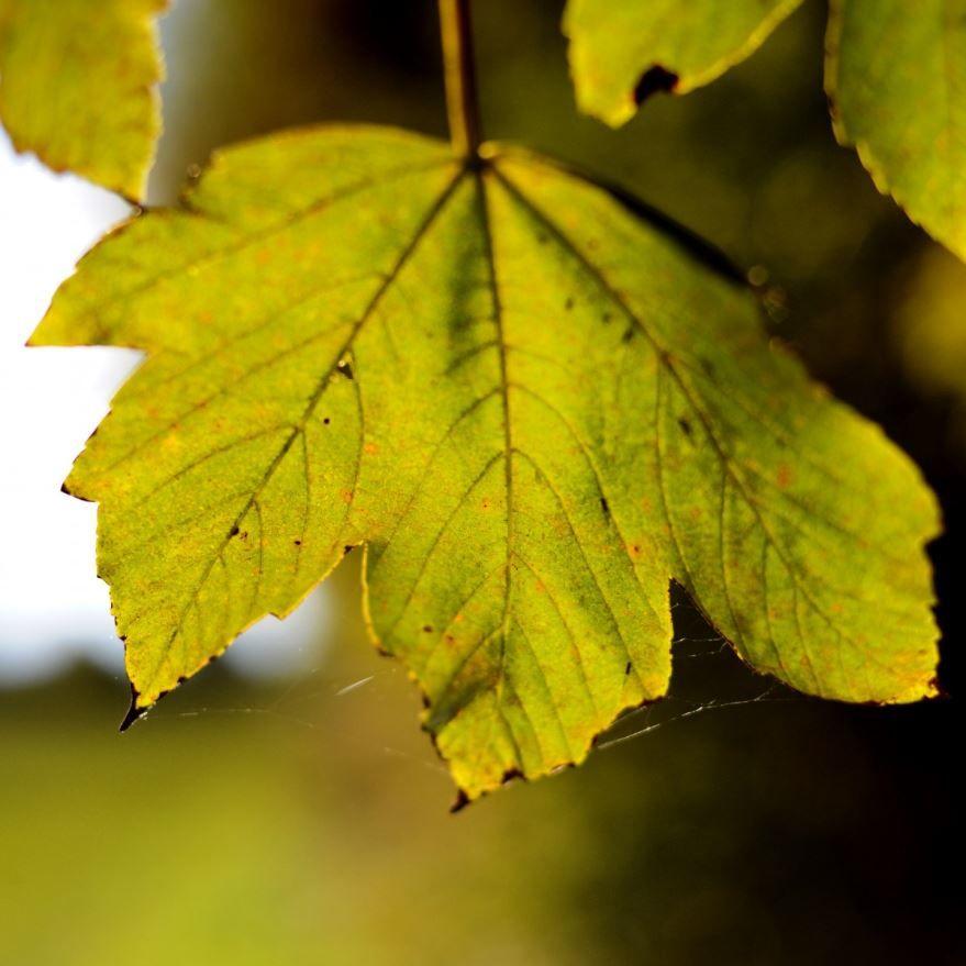 Фото листьев канадского клена