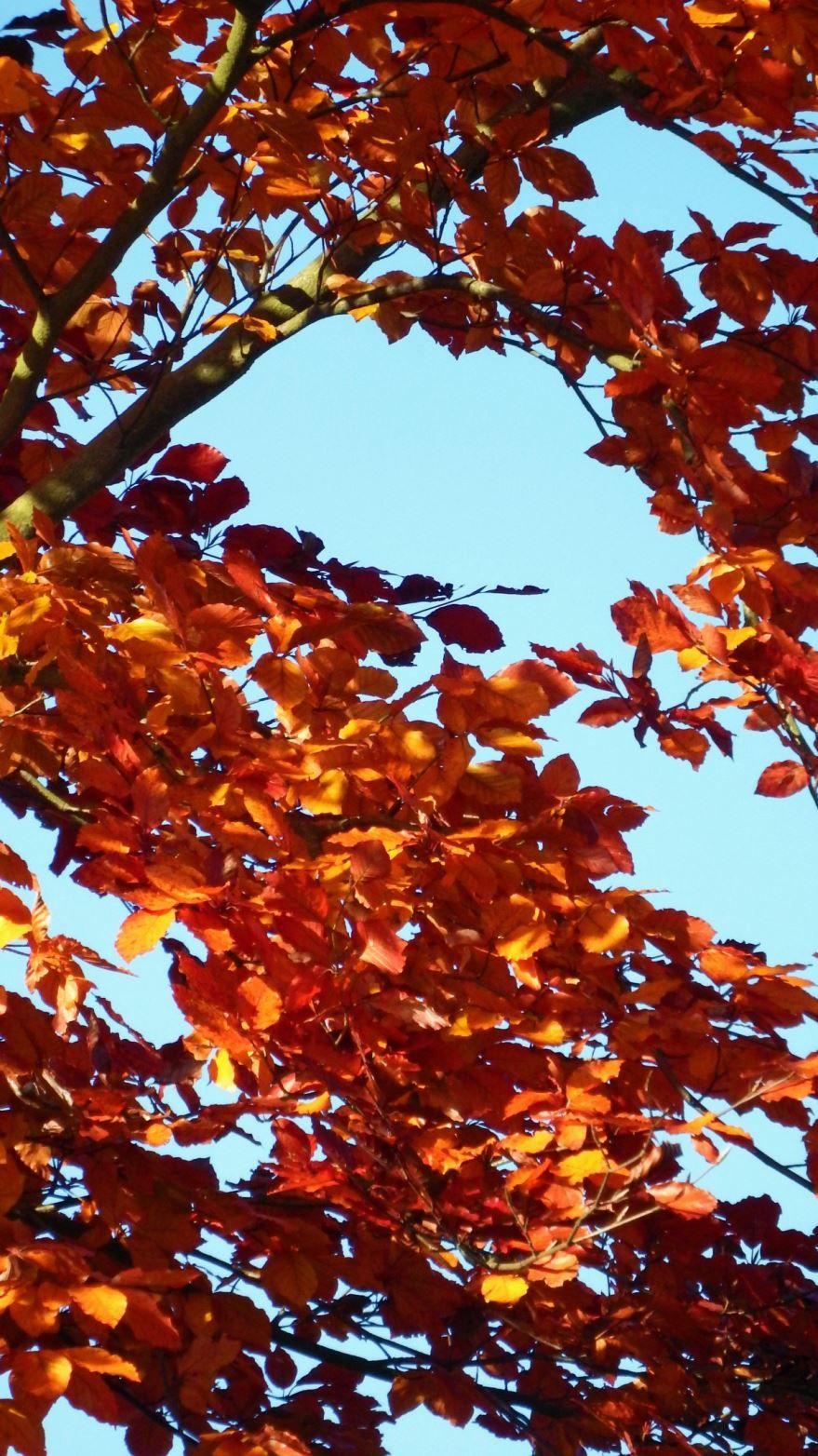 Красивые, осенние фото канадского клена