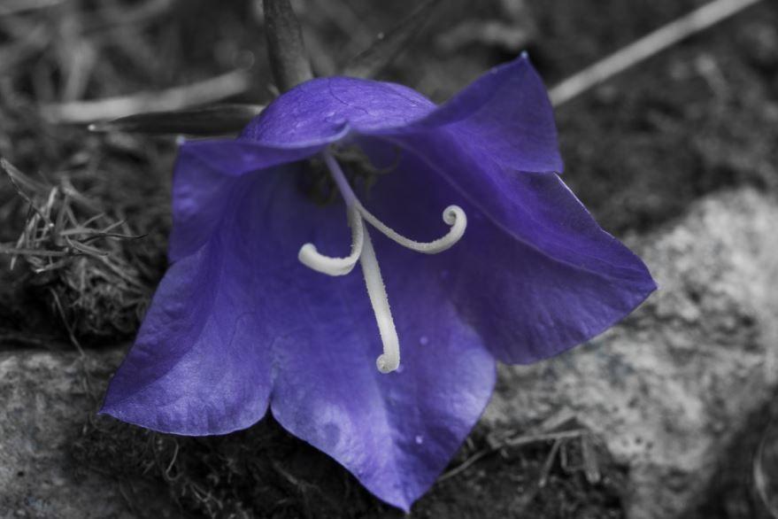 Смотреть фото растения - сияющего колокольчика