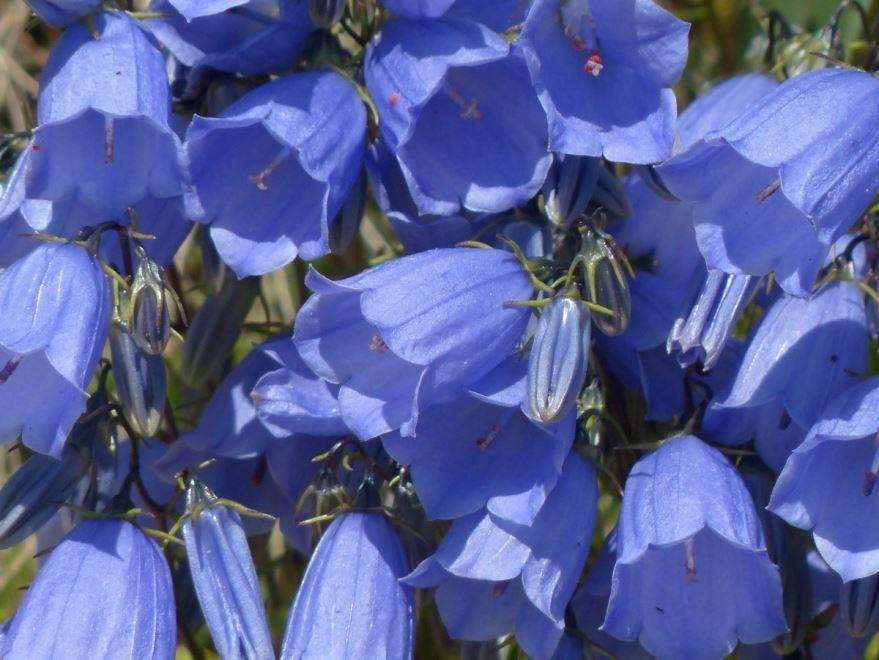 Смотреть фото многолетних цветов – колокольчиков