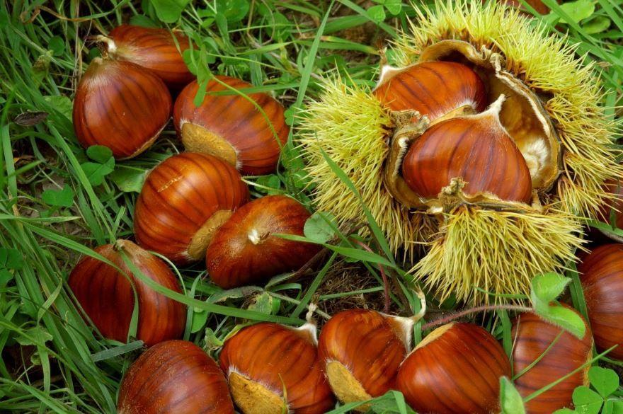 Смотреть фото лечебных плодов каштана