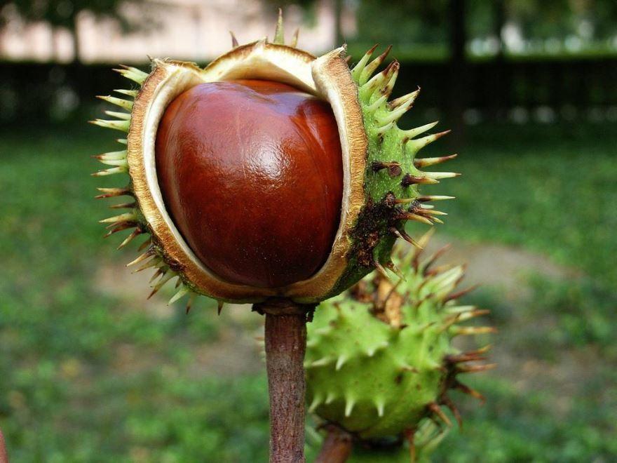 Фото плодов домашнего каштана, которые используют для создания лекарств для аптеки