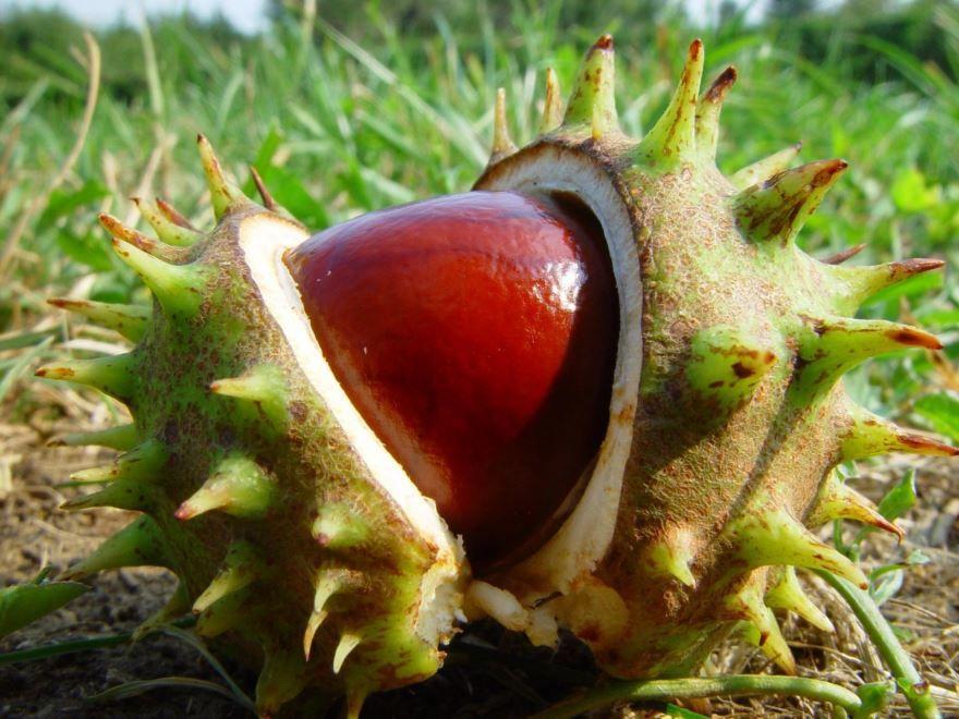 Лечебные плоды домашнего каштана, полезных для ног