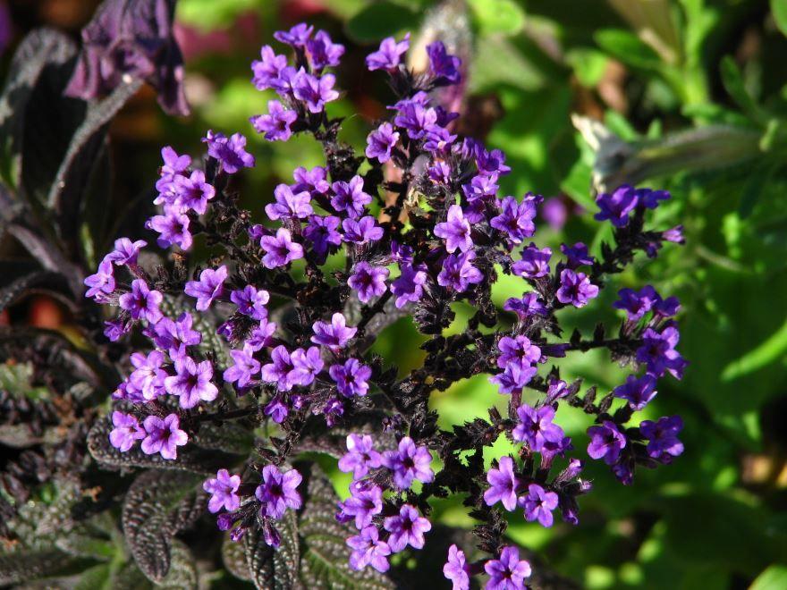 Смотреть фото цветка гелиотропа с полезными свойствами