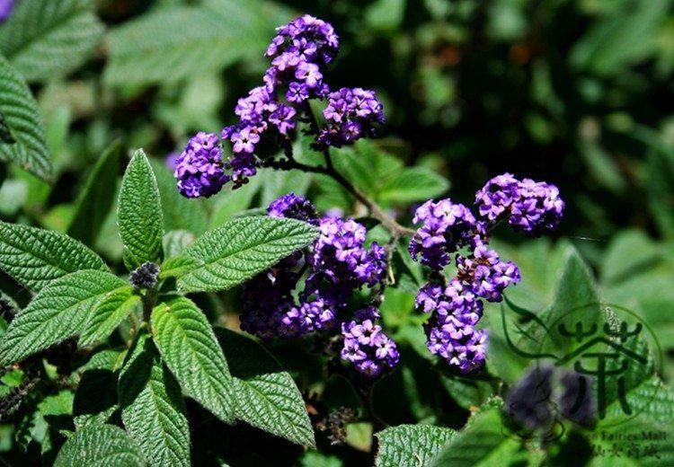 Фото растения гелиотропа бесплатно