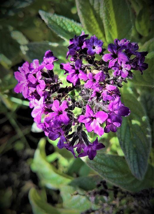 Купить фото цветков гелиотропа? Скачайте бесплатно