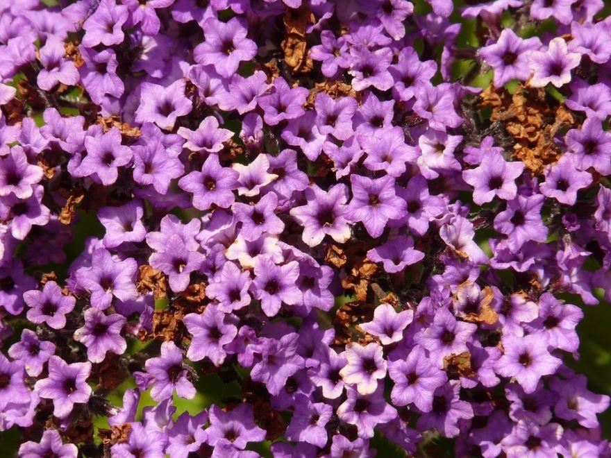 Фото цветков гелиотропа, выращенного в открытом грунте