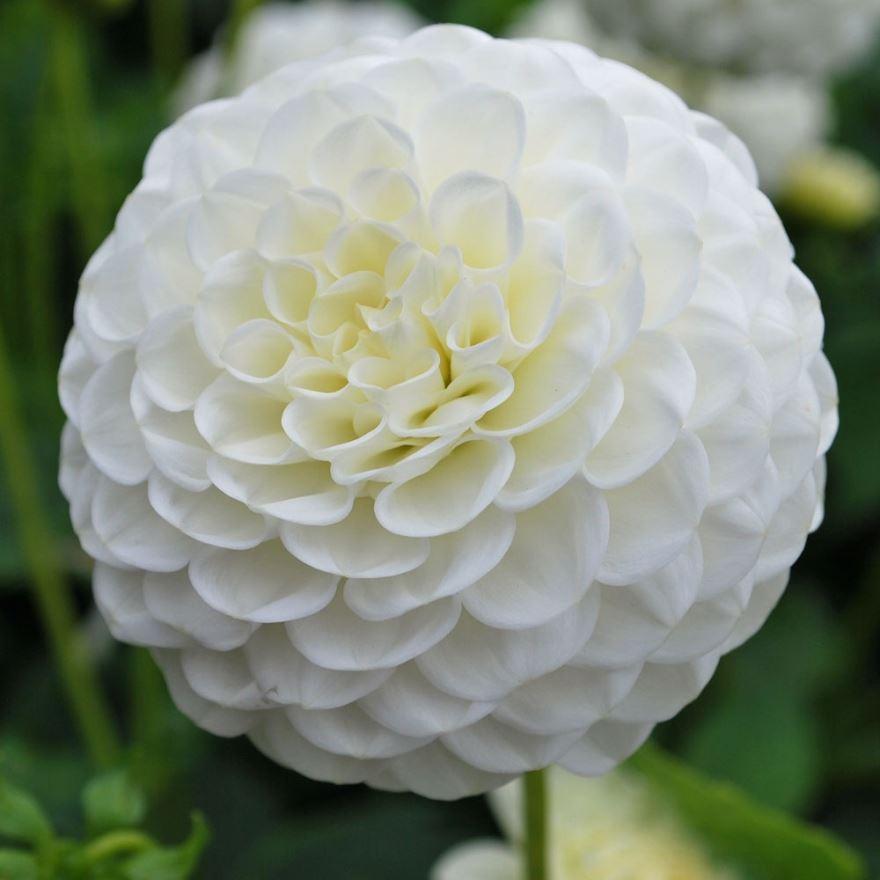 Купить фото цветков георгины? Скачайте бесплатно