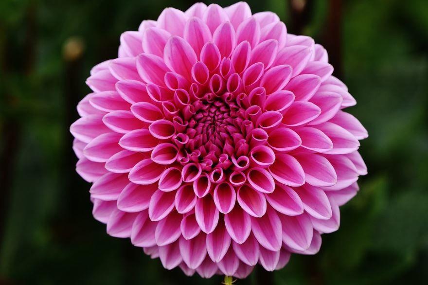 Фото домашних цветов георгин