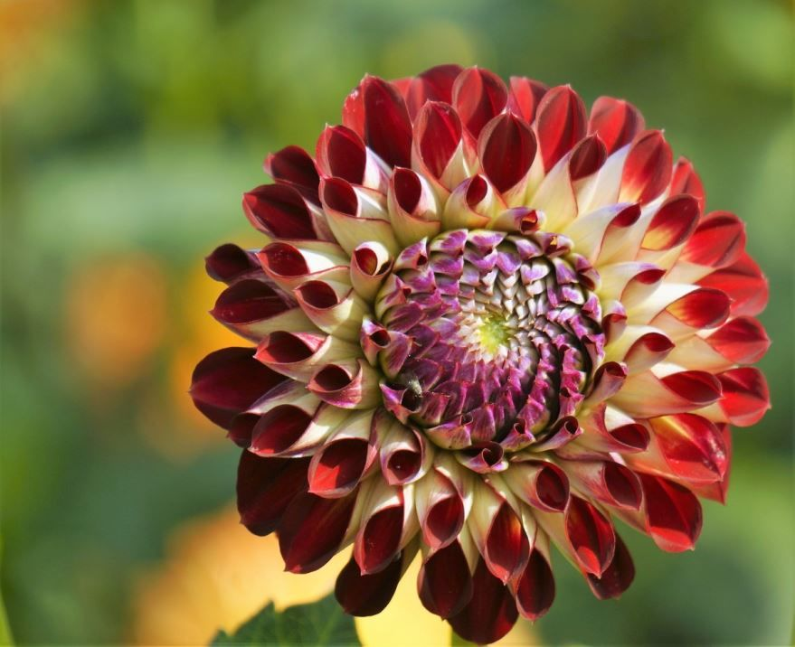 Фото однолетних растений – домашних георгин