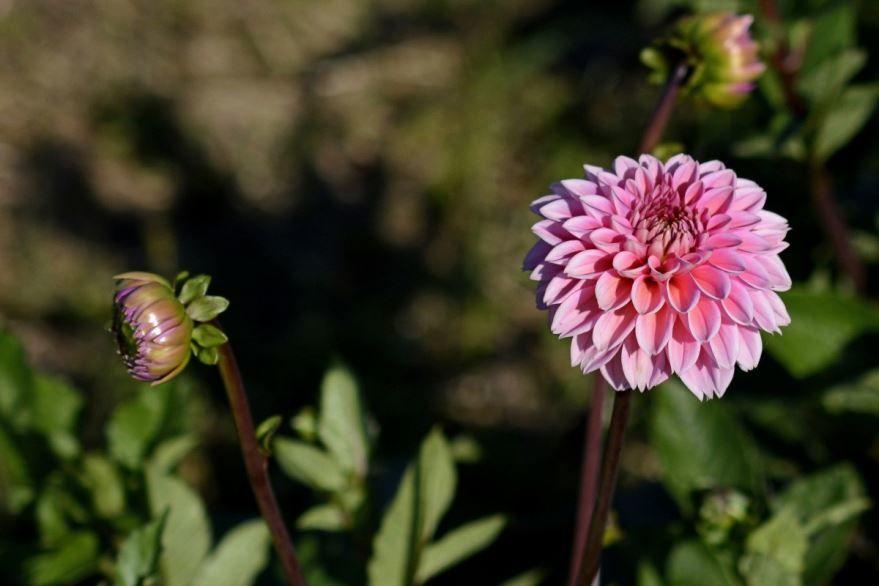 Смотреть фото осенних цветов – георгин