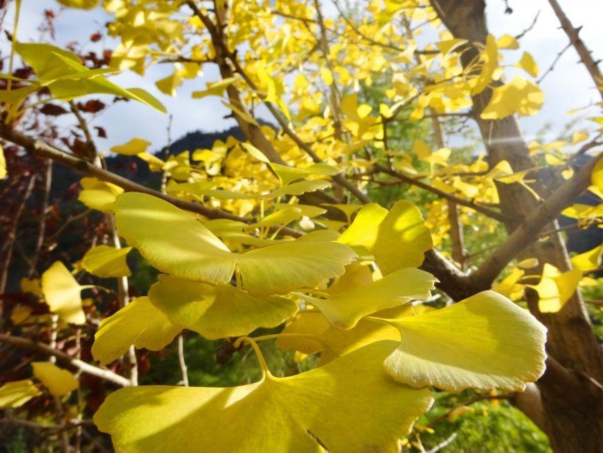 Фото растения гинкго билоба для создания лекарственных настоек