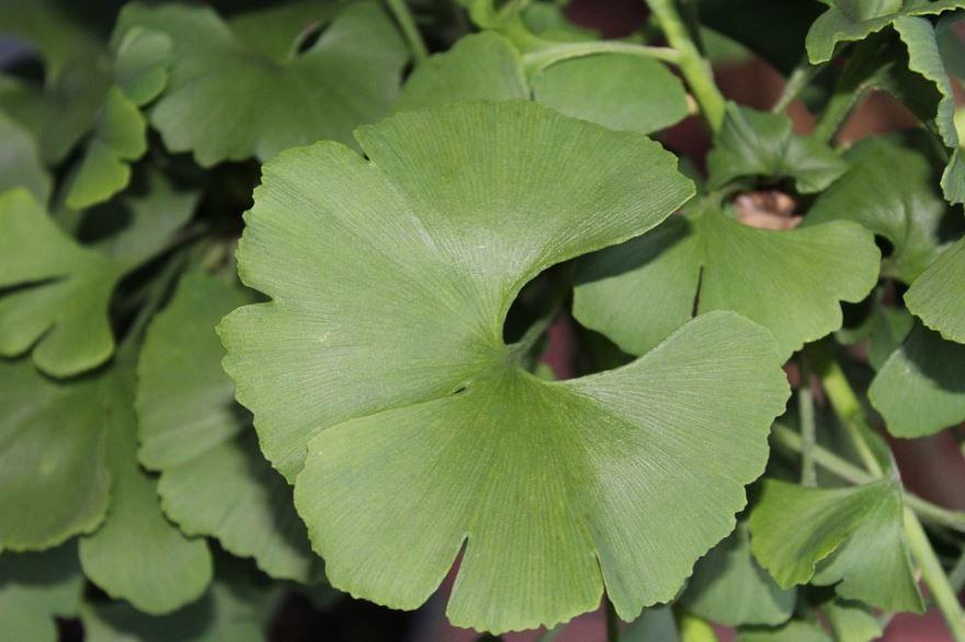Фото лекарственного растения гинкго билоба