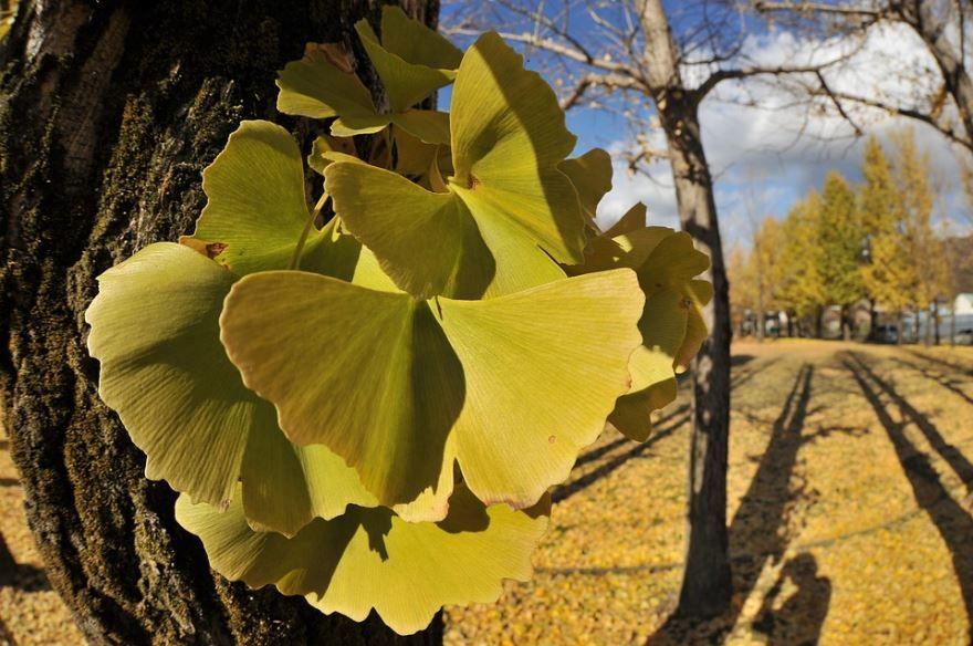 Скачать фото деревьев гинкго бесплатно